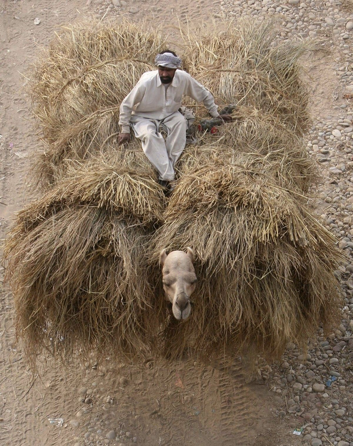 A man rides a camel loaded with fodder. It shows how the animal has been treated.