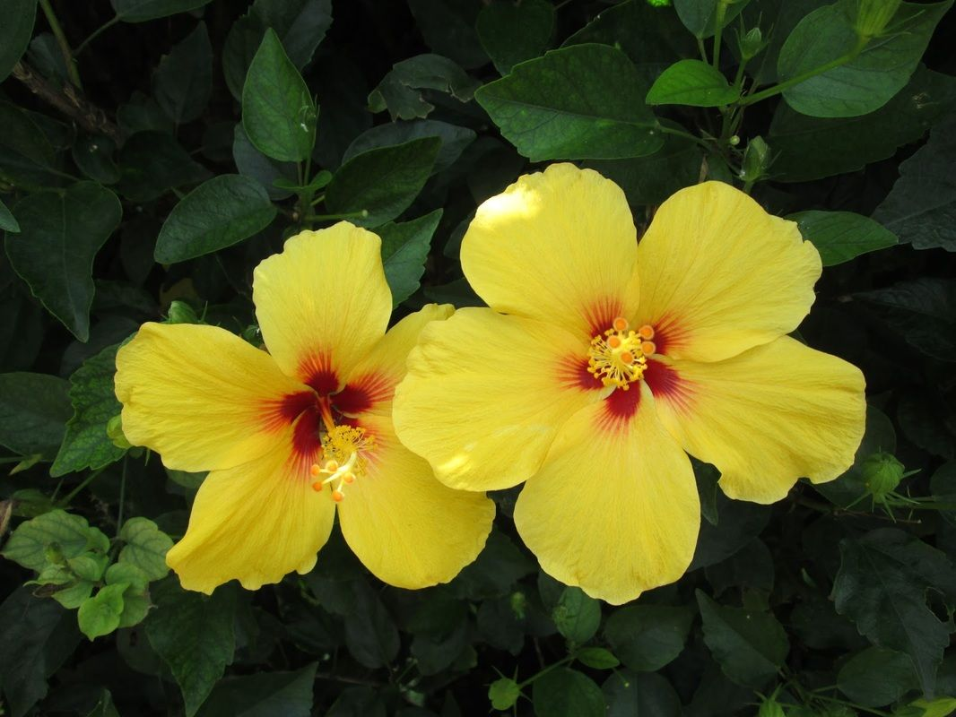 Did you know the hawaiian hibiscus flower is the state flower you did you know the hawaiian hibiscus flower is the state flower you can see it izmirmasajfo