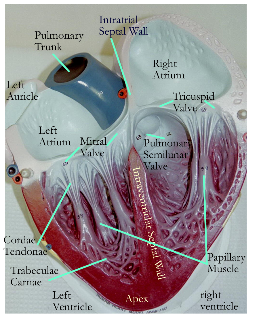 Parts Inside The Heart Lymphatic System Anatomy System Model Circulatory System [ 1100 x 900 Pixel ]