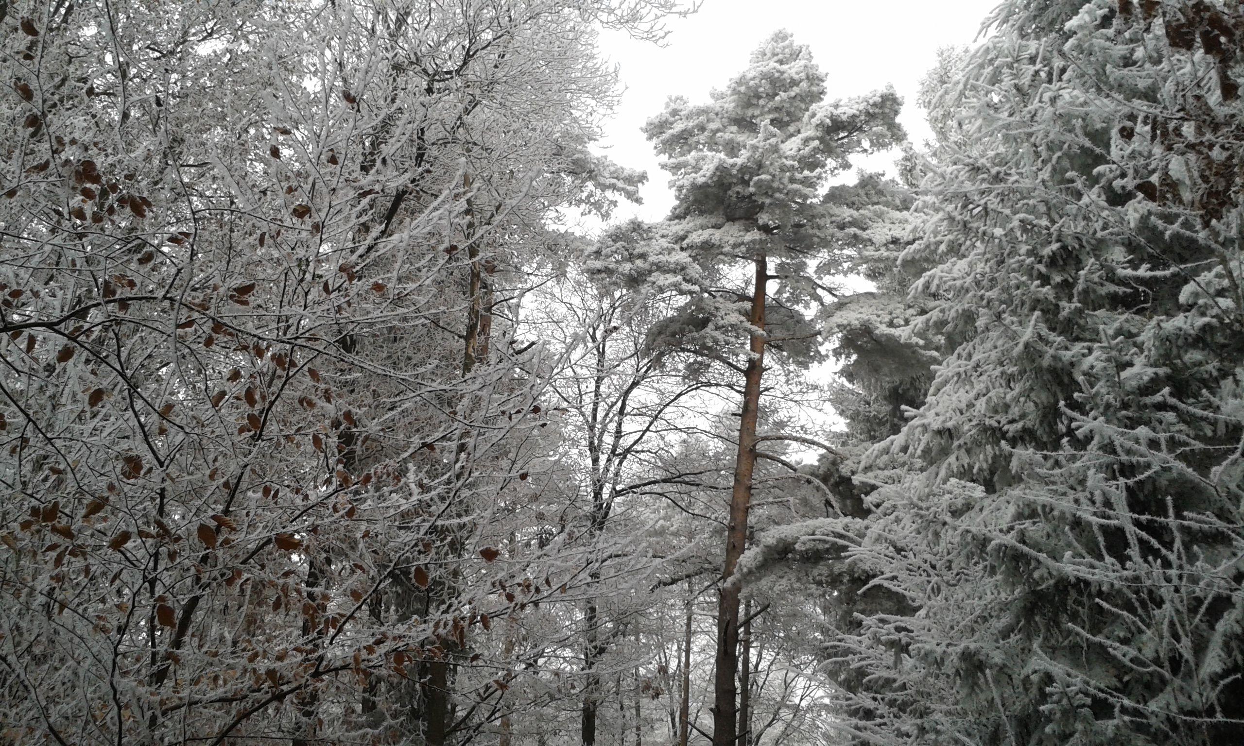 Raureif am 8.12.16, der Wald  im weißen Glitzerkleid