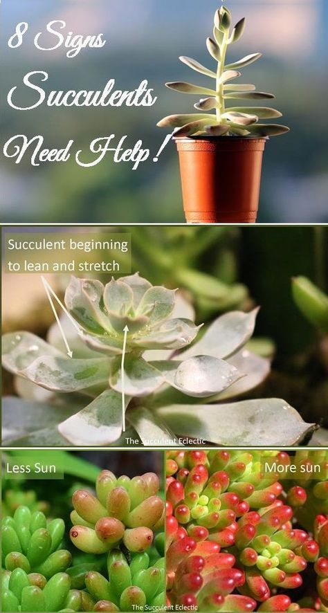 What is your succulent telling you? Improve your succulent care by learning to recognize and understand 8 signs your succulents display to show they are overwatered, underwatered, need more light, more shade - and much more!  #succulents #succulentcare #overwateredsucculents #underwateredsucculents