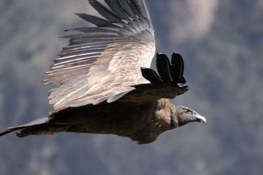 The Andean Condor Vultur Gryphus Is A National Symbol Of Peru