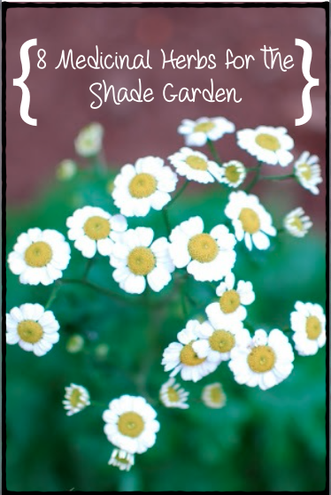 There are several, beautiful, easy-to-grow medicinal herbs that grow well in shaded gardens.