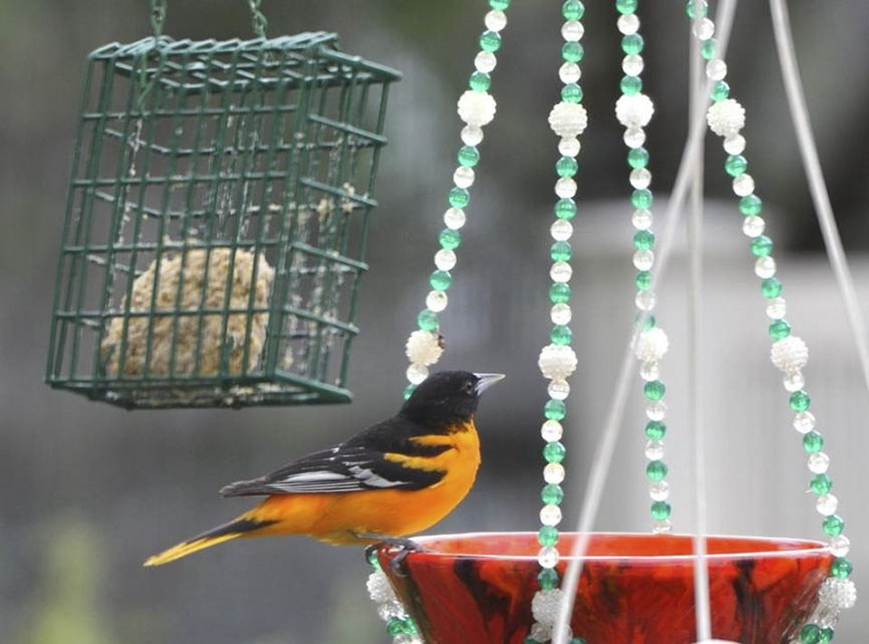 how to attract orioles in illinois