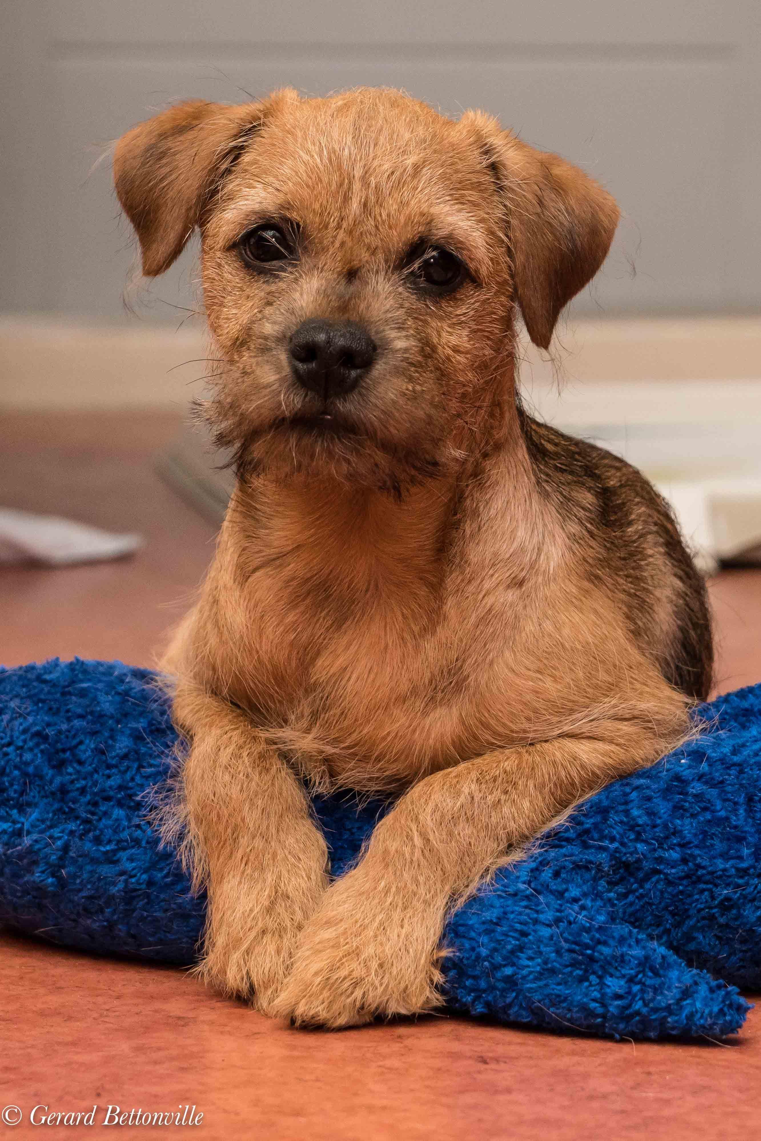 Mijn Border Terrier Toby Bijna 4 Maanden Oud Border Terrier