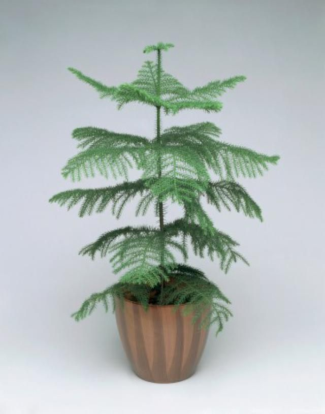 What to Do Now With Your Norfolk Island Pine Christmas Tree? | Pine christmas tree, Norfolk pine ...