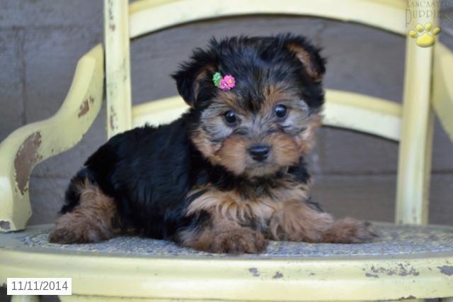 Hailey Yorkshire Terrier Puppy For Sale In Sugarcreek Oh Yorkshire Terrier Puppies Yorkshire Terrier Yorkie Puppy