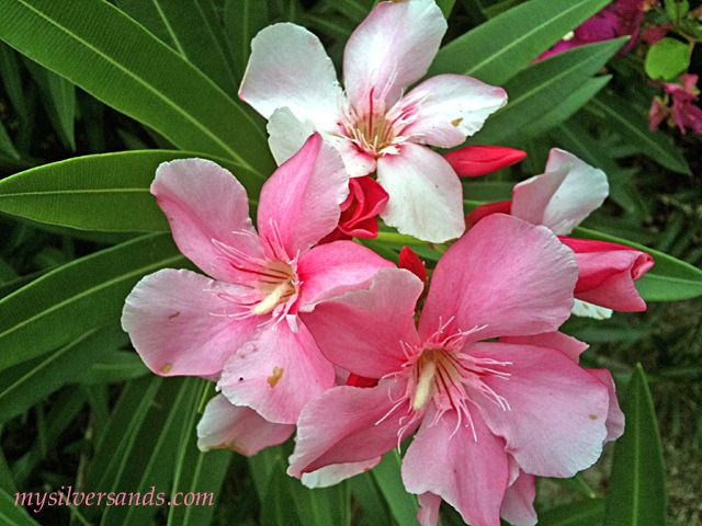 The oleander pretty but poisonous sleeve ideas pinterest the oleander pretty but poisonous mightylinksfo