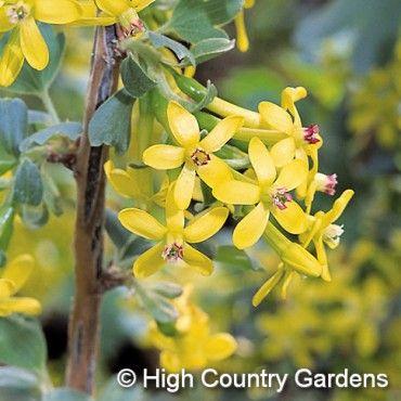 Ribes aureum Gwen's Buffalo Clove-Scented Currant