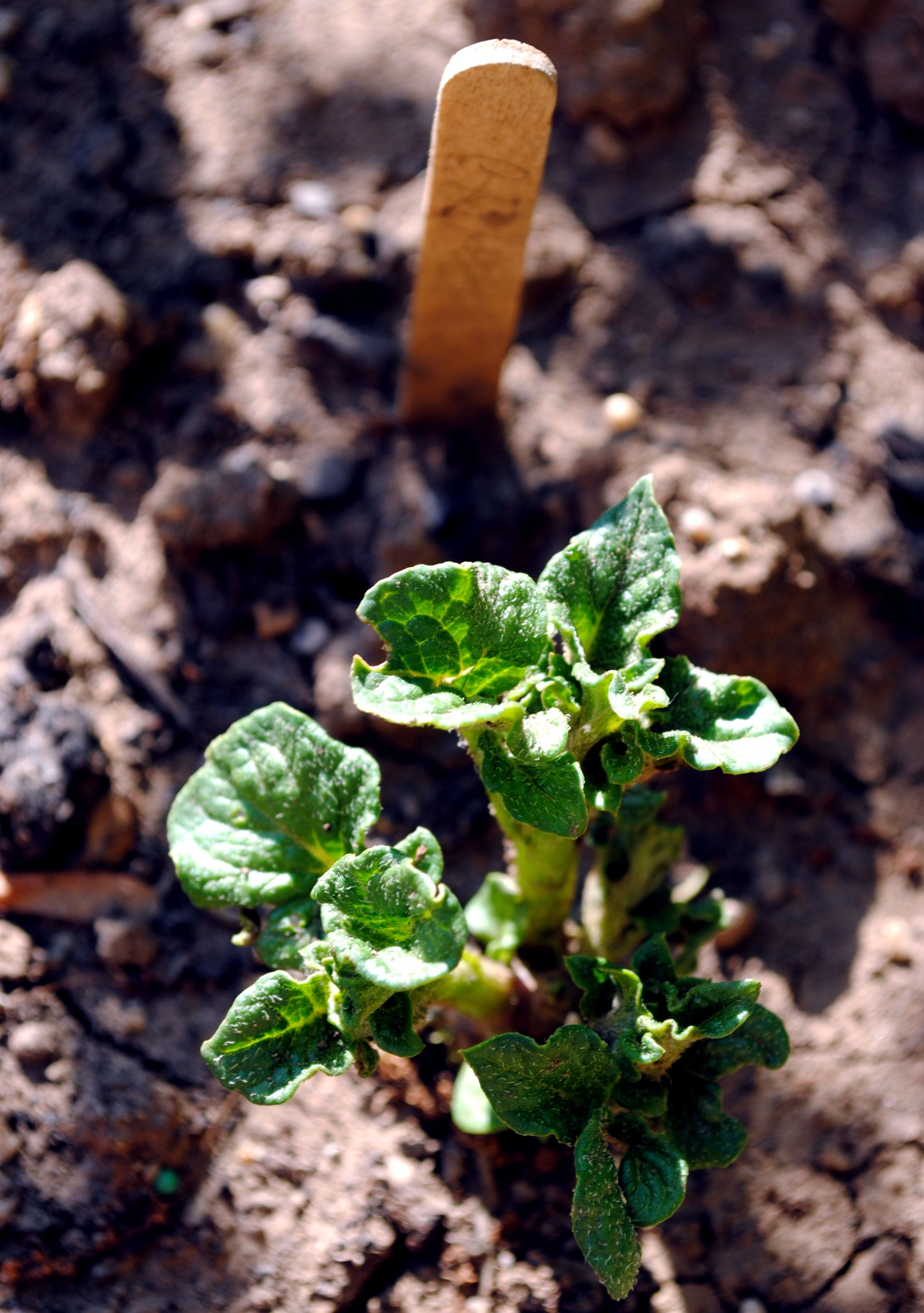 51112 yukon gold potato plant is starting to sprout