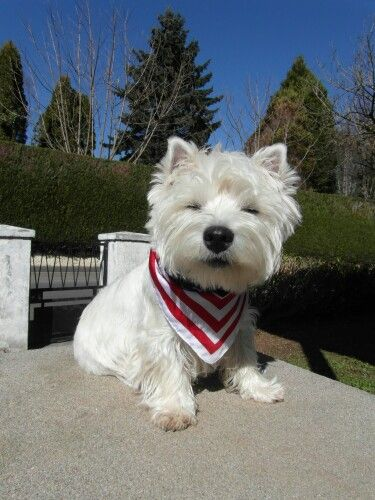 Where Are My Sunshades Mom Westie Puppies West Terrier