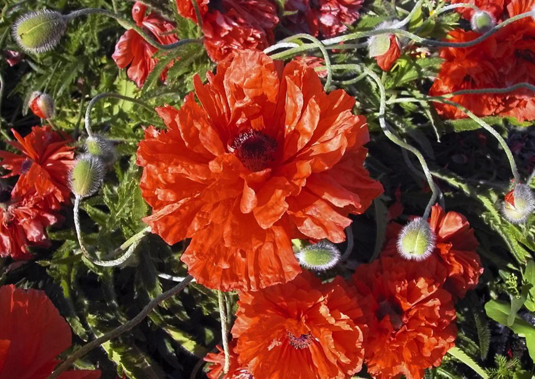 Idänunikko, Papaver orientale 'Olympia', kukkii kesä-heinäkuussa.