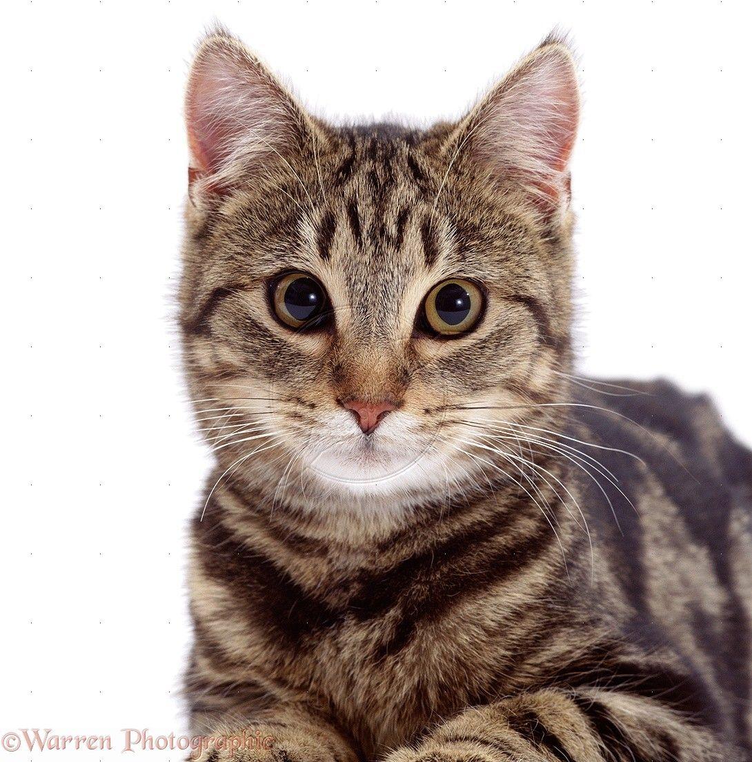 tabby cats hd tabby cats face photo wp 8 1090—1104