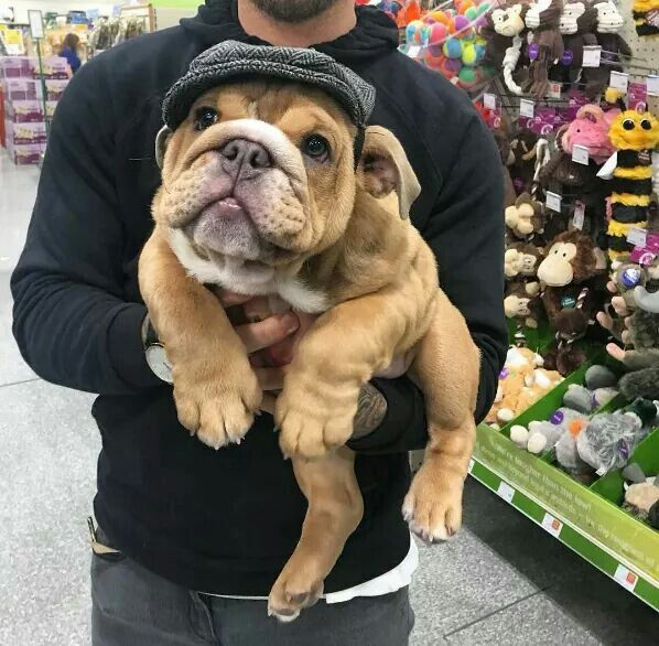 Pin By Odette Fourie On Bulldogs Bulldog Puppies Cute Puppies
