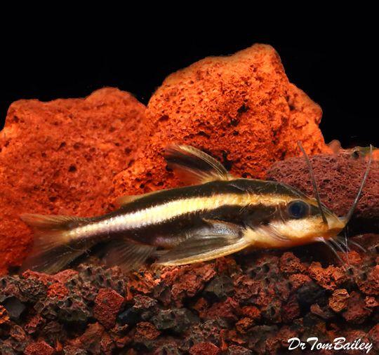 Raphael Catfish Featured Item Raphael Catfish Fish Petfish Aquarium Aquariums Freshwater Freshwaterfish Aquarium Fish For Sale Pet Fish Aquarium Fish