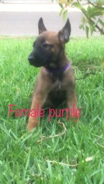 Litter Of 9 Belgian Malinois Puppies For Sale In Palmhurst Tx