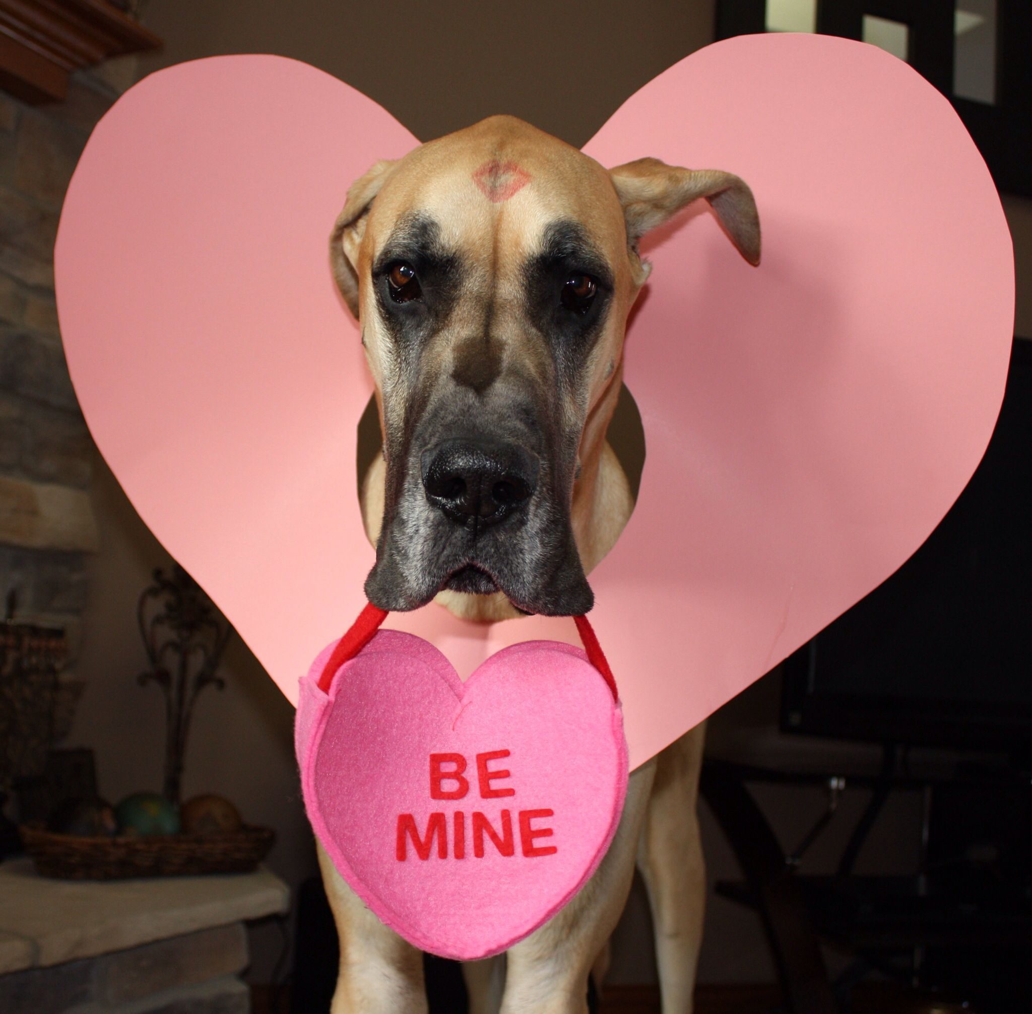 Great Dane Valentine S Day Photo Prop Great Dane Dogs