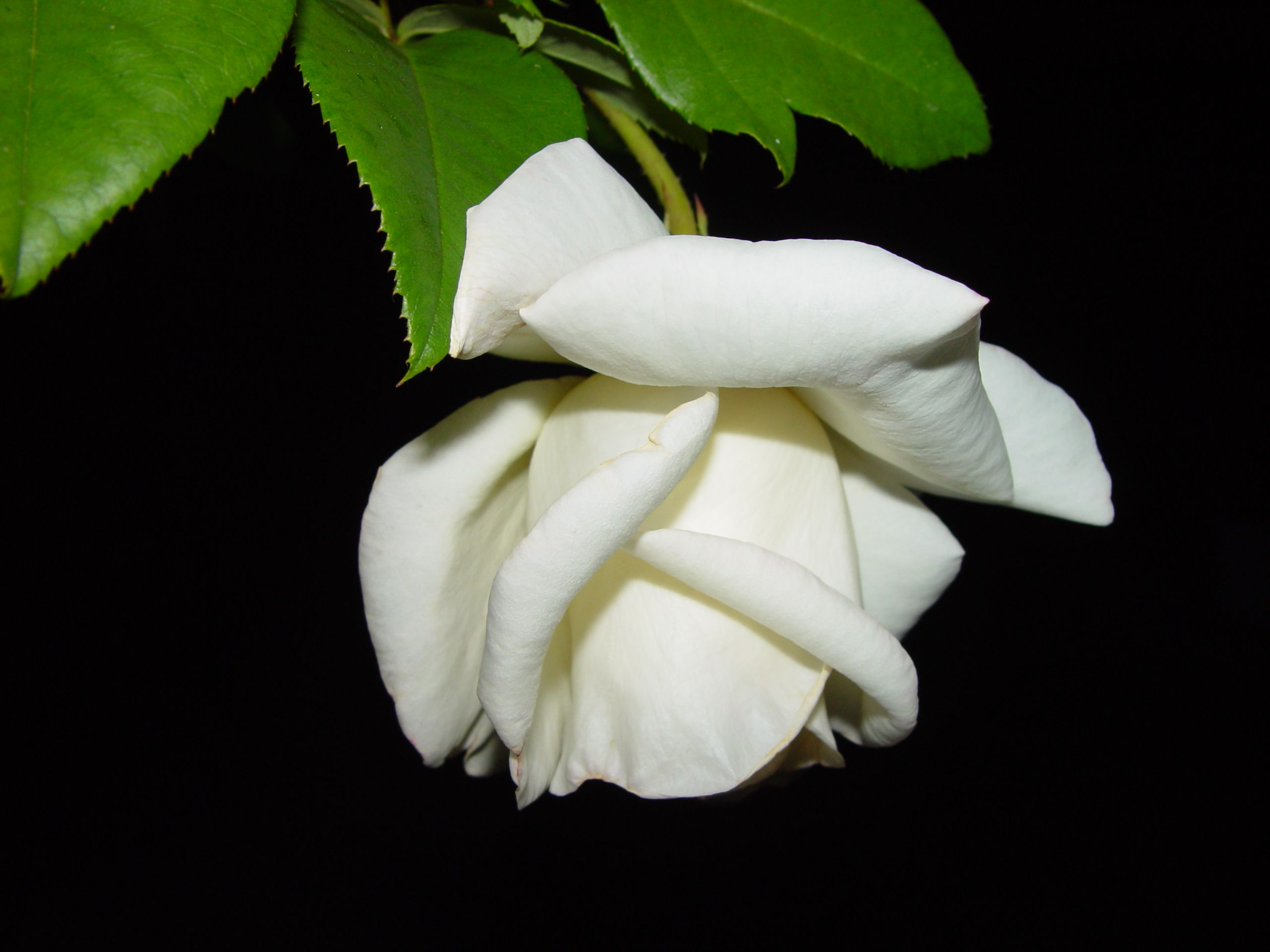 White Rose Photographed At Night I Tried Searching For One Like