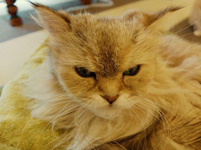 膝乗りあずき。ホカペの上にて。 #ねこカフェなる #猫カフェなる #長野県長野市 #猫カフェ #naganojapan #catcafe #nekocafenaru #nekocafe #neko #catscafe #catstagram #cats_of_instagram #catstuff #cat #cats #ねこカフェ #ネコカフェ #あずき #チンチラゴールデン