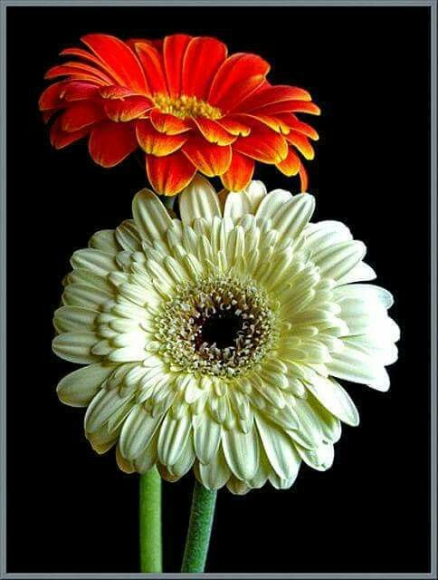 Pin By Kallol Bhattacharya On My Delight With Images Gerbera