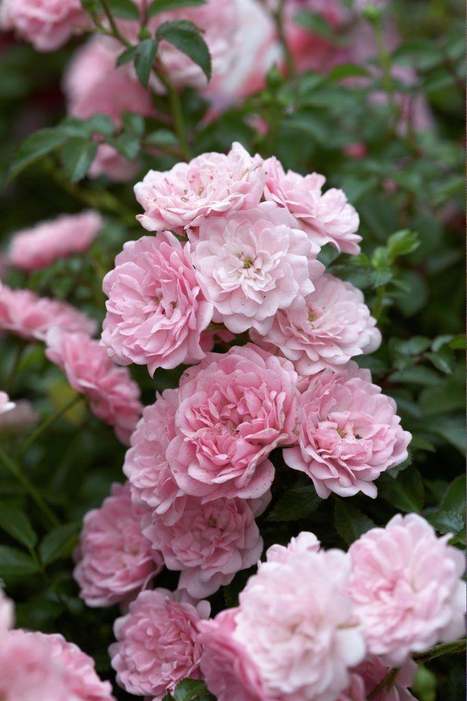 Rose 'The Fairy' • Rosa 'The Fairy' • Pflanzen & Blumen • 99Roots.com