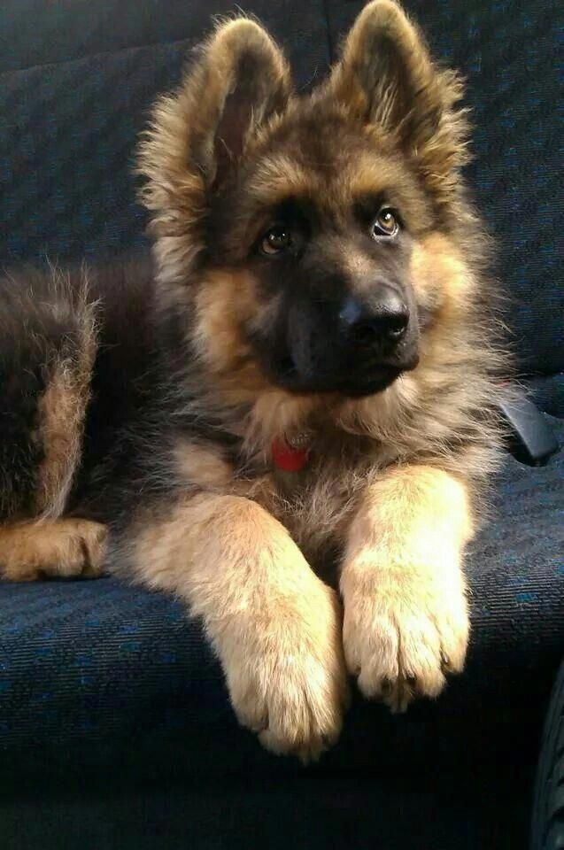 German shepherds are one of the most constant pet dog breeds to make the America... -  German shepherds are one of the most constant pet dog breeds to make the American Kennel Club's y - #america #breeds #constant #Dog #german #Pet #Pets #Petsaccessories #Petsdiy #Petsdogs #Petsdogsaccessories #Petsdogsbreeds #Petsdogspuppies #Petsfish #Petsfunny #Petsideas #Petsquotes #Petsunique #Shepherds #smallPets #smallPetsforkids