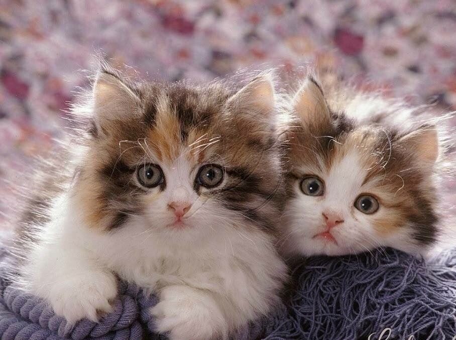 Sirena Cute Cats And Kittens Kittens Cutest Kittens