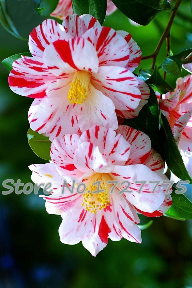 50 piecesbag camellia seeds camellia flowers seeds 24 kinds or 50 piecesbag camellia seeds camellia flowers seeds 24 kinds or colors to choose dhlflorist Images