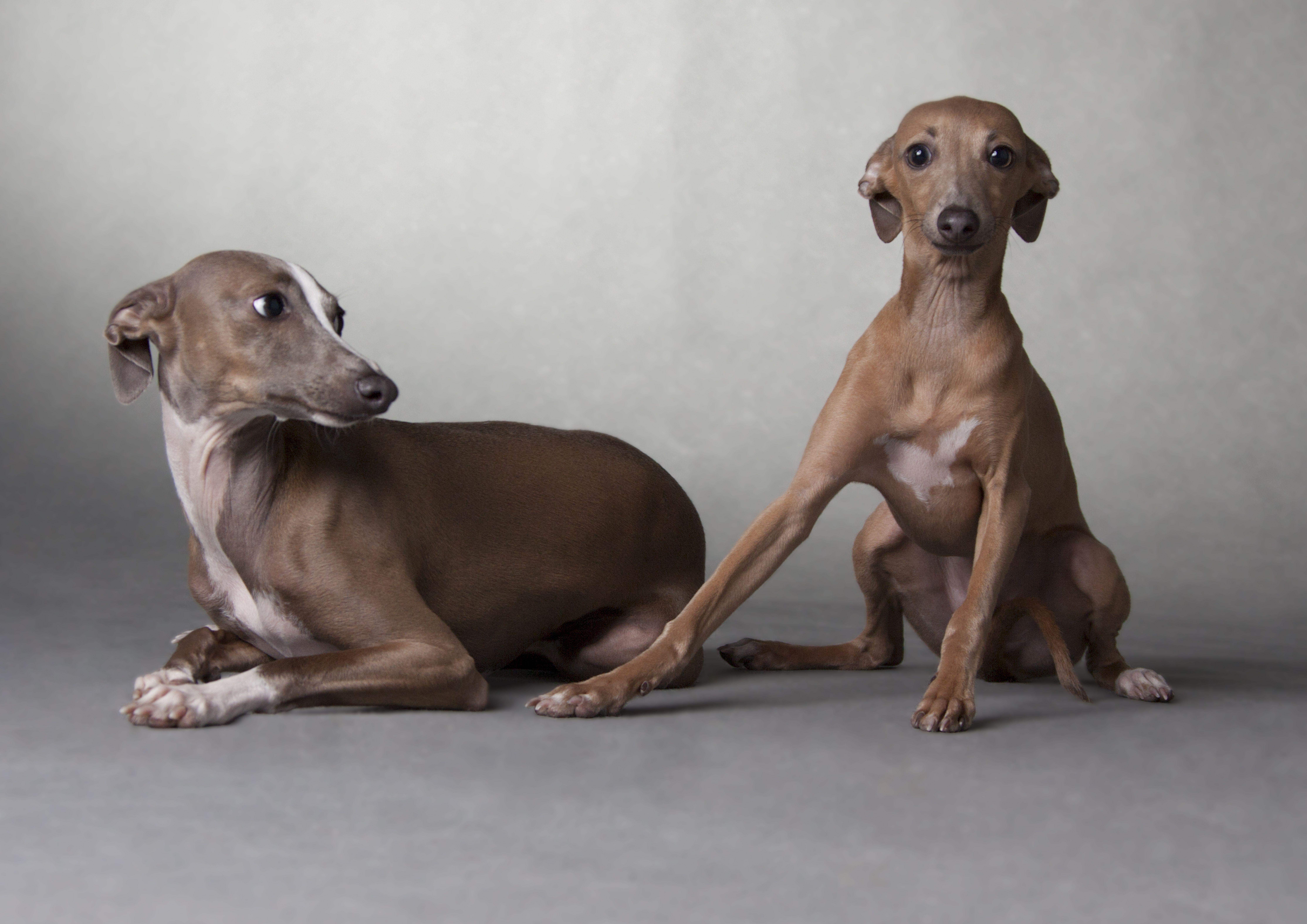 Merlot And Pinot 2013 Italiangreyhound Calendar Pets Italian Greyhound Dogs Whippet