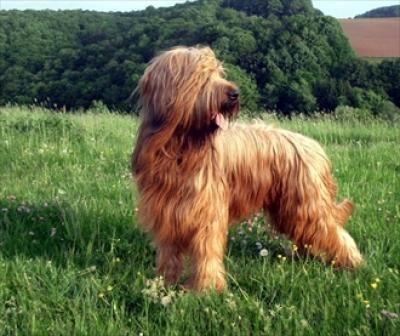 Briard Hirtenhund Briard Hund Hunderassen