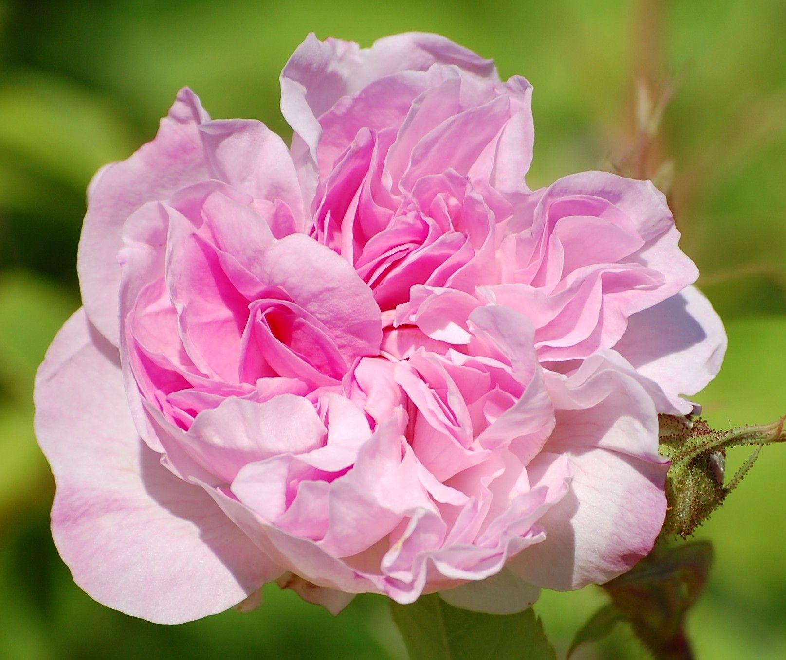 Blush Damask - Rosa damascena = Tähtitorninkatu - Hongiston TaimistoHongiston Taimisto