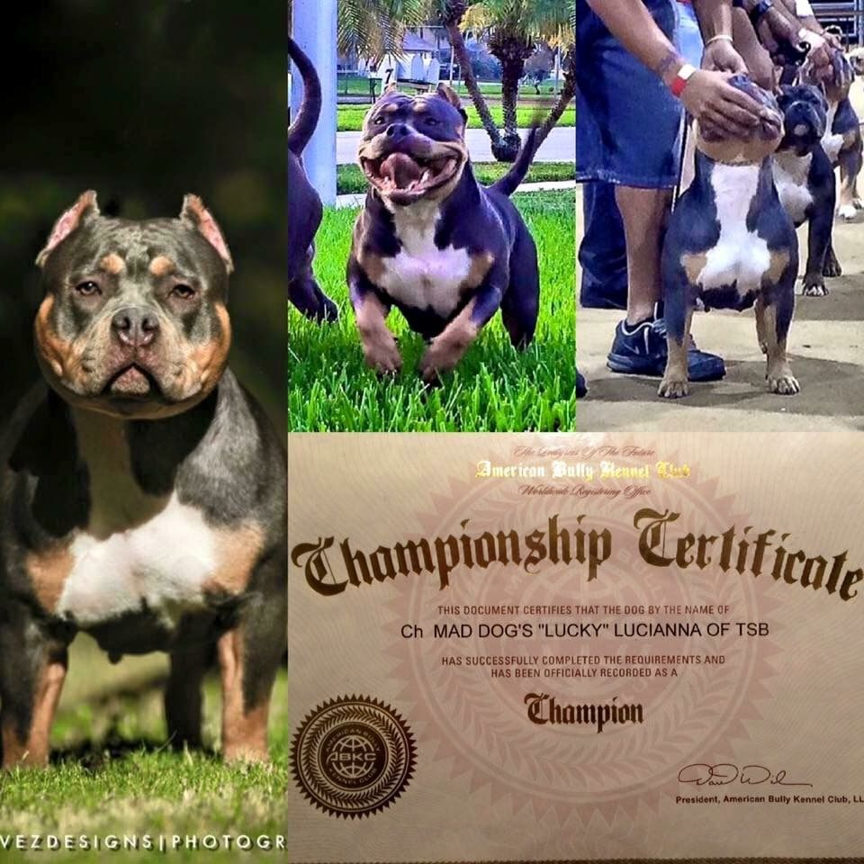 Pin by Venomline | Texas Size Bullies on ABKC Champion
