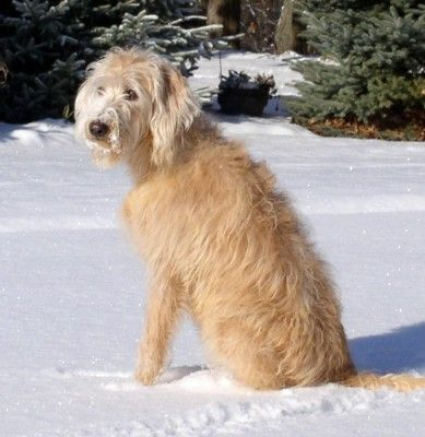 What Is The Difference Between The Australian Labradoodle And The