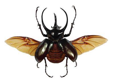 Chalcosoma atlas - Wing Spread   Beetles   Pinterest ...