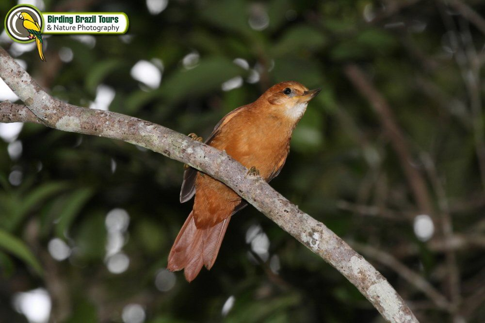 Great Xenops (endemic) Birding Brazil Tours | Caatinga