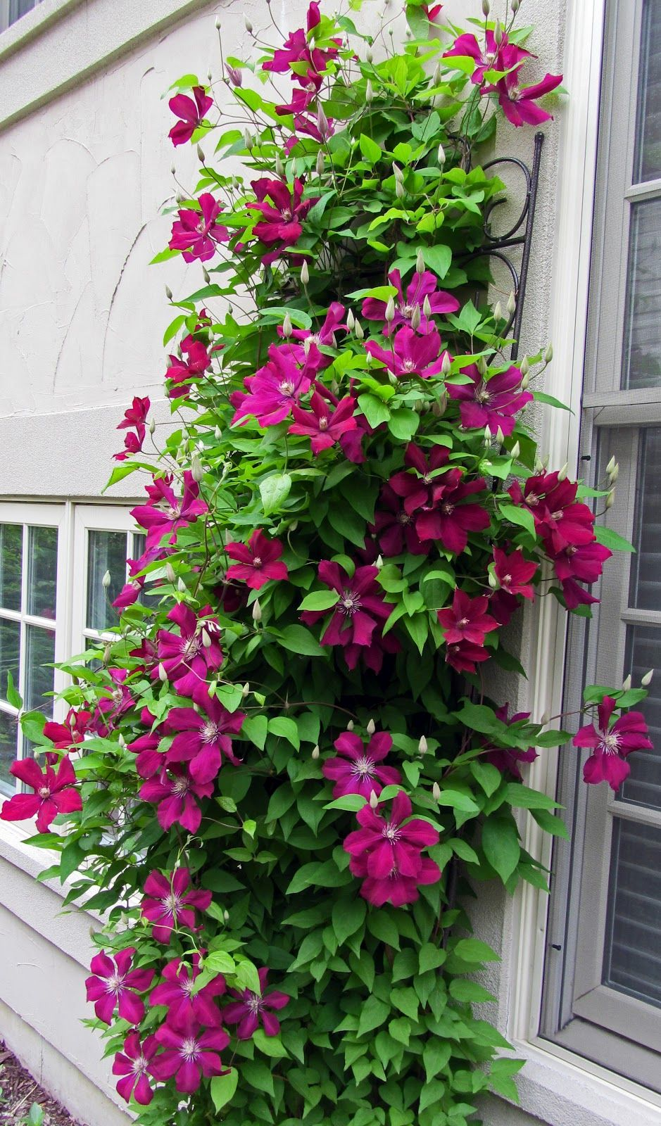 clematis rouge cardinal google search clematis. Black Bedroom Furniture Sets. Home Design Ideas