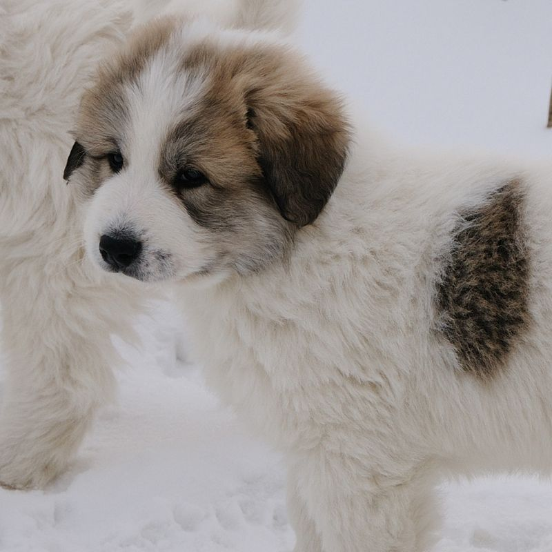 Pyrenean Mountain Dog | Great Pyrenees | Pinterest