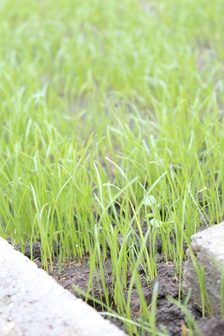 Tips For Starting A Lawn From Seeds Scratch Using Seed Is The Least Expensive Way To Transform Your Home Or Garden