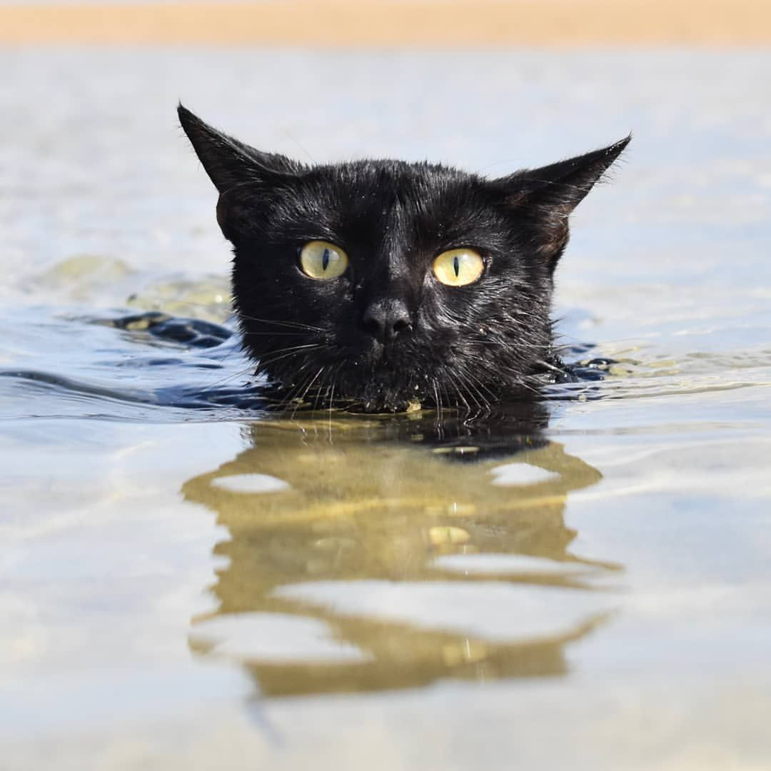 Nathan The Beach Cat Instagram Love Her Swimming Cats Cats Feline