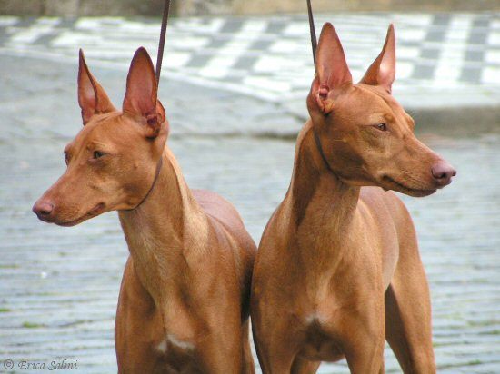 Pin By Mariangela Sassi On Best Friends Unusual Dog Breeds Pharaoh Hound Dog Breeds