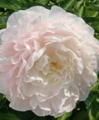 """Moonstone"" peony... good variety for the South"