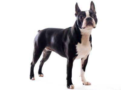 Boston Terrier Breed Standard Boston Terrier Boston Terrier Dog