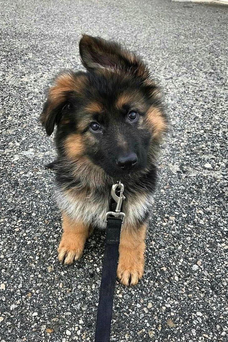 Full-Grown German Shepherds Are Cute, but Have You SEEN Them as Puppies?!
