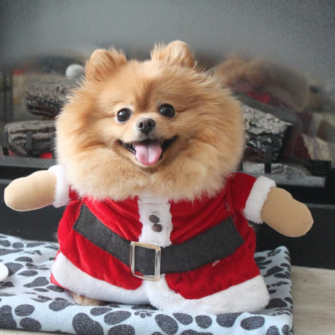 Dog Cute Daily Pomeranian