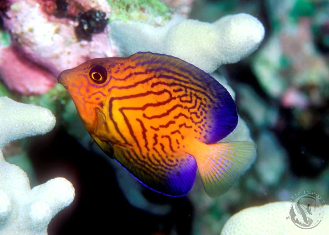 Tangs saltwater fish tangs fish pinterest fish for Exotic tropical fish