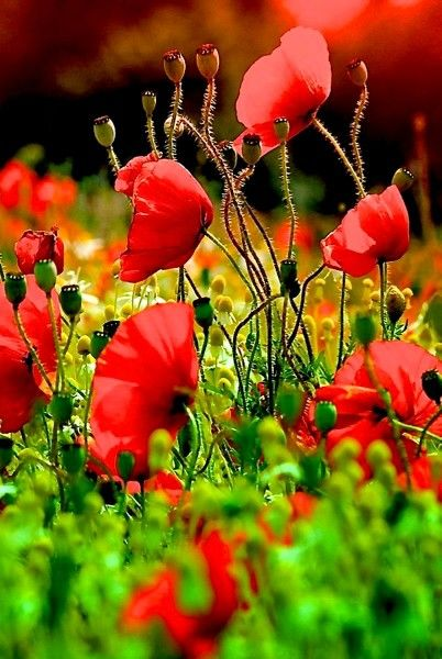 Mohn Mohnblumen Blumen Pflanzen Planting Poppies Poppy Flower Beautiful Flowers