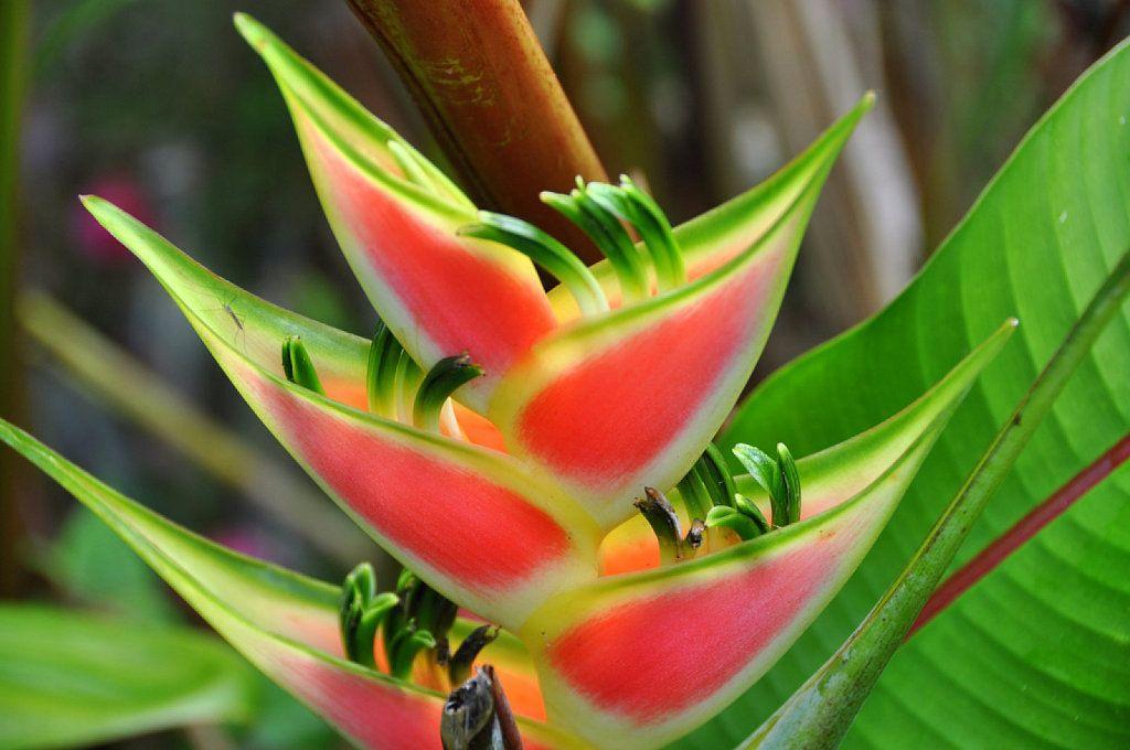 Heliconia La Planta Preferida En Jardines Tropicales Y: ¿Te Gustan Los Jardines Tropicales?