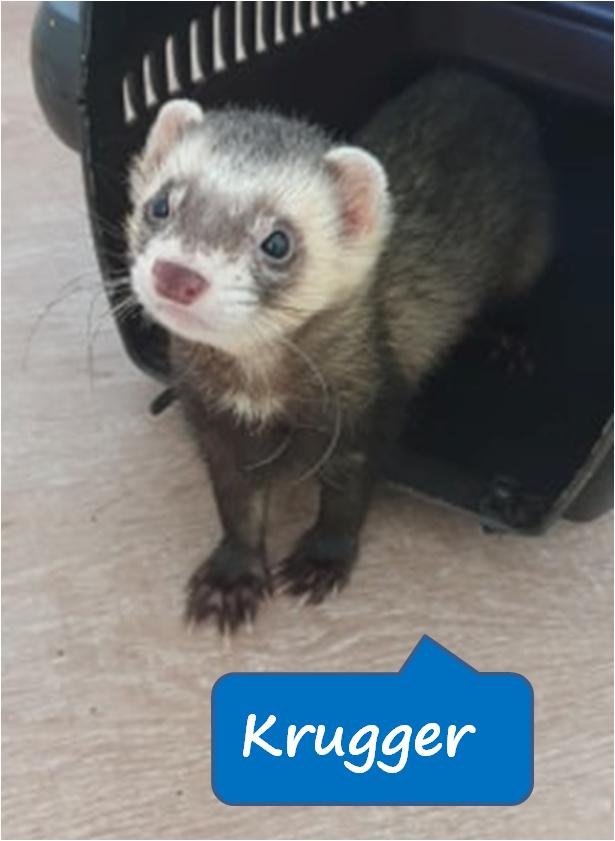 Epingle Par Seconde Chance Sur Coups De Pouce Furets En 2020 Adopter Un Chien Furet Animaux