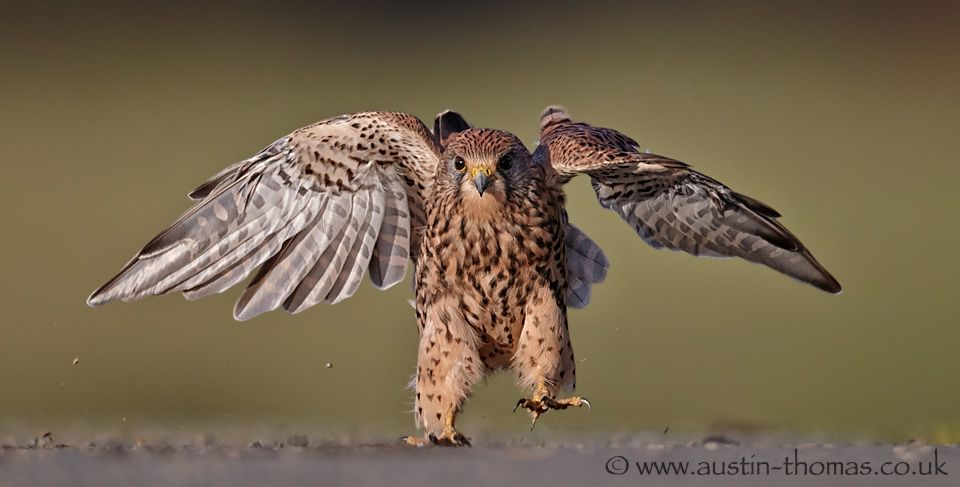 I am still working on #Kestrel  images.  I don't find it easy to get this type of image 'critically' sharp. I seem to send so many 'nearly' pictures to the recycle bin...  Enjoy your Sunday...      #birds  #birds4all  #birdsgallery  #birdloversworldwide  #birdofprey  #birdsinfocus  #sundayfunday  #funnypics
