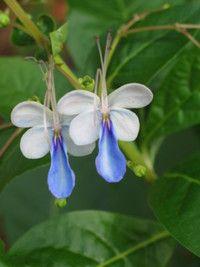 Blue Glory Bower (Clerodendron myricoides)